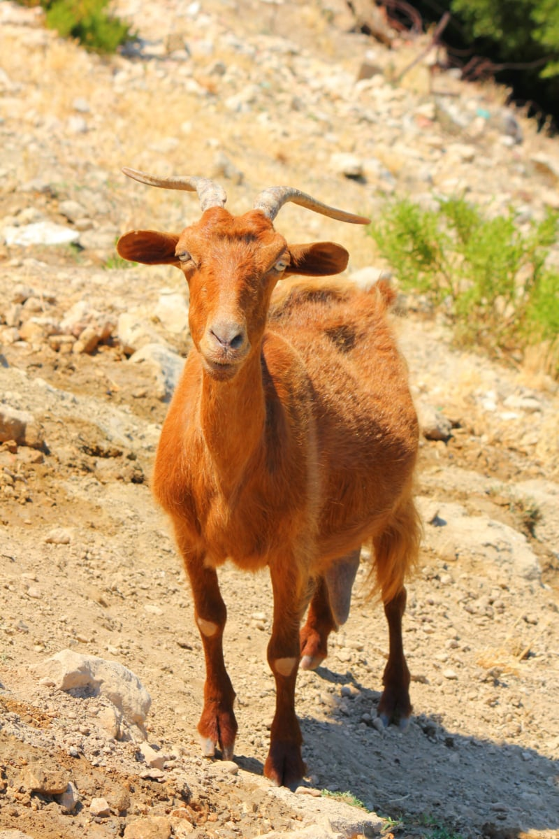 horn, goat, brown, mountain goat, wild, young, wildlife, nature, animal, outdoors