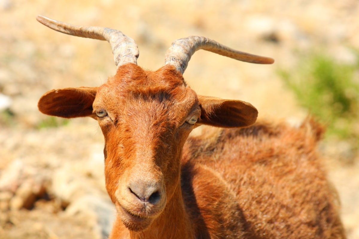 goat, brown, horn, head, eyes, nose, nature, animal, wildlife, grass