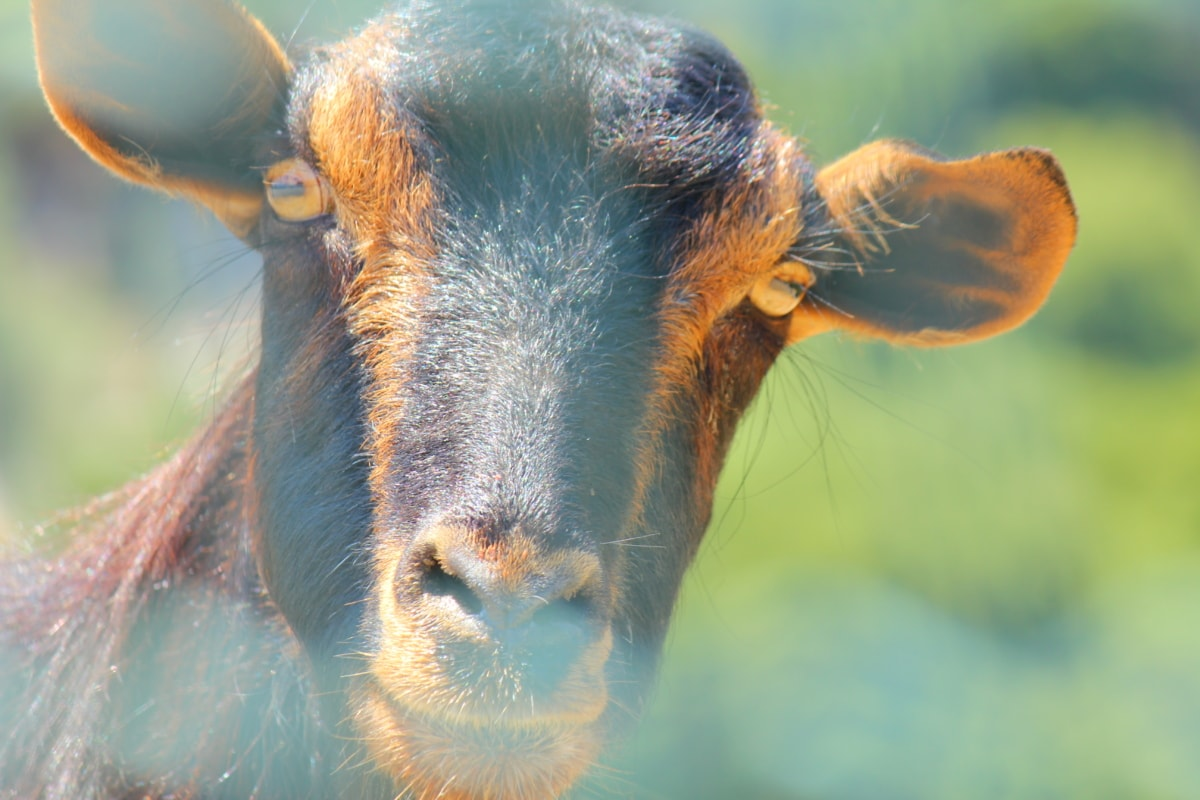 goat, mouth, head, eyes, nose, animal, portrait, outdoors, wildlife, hair