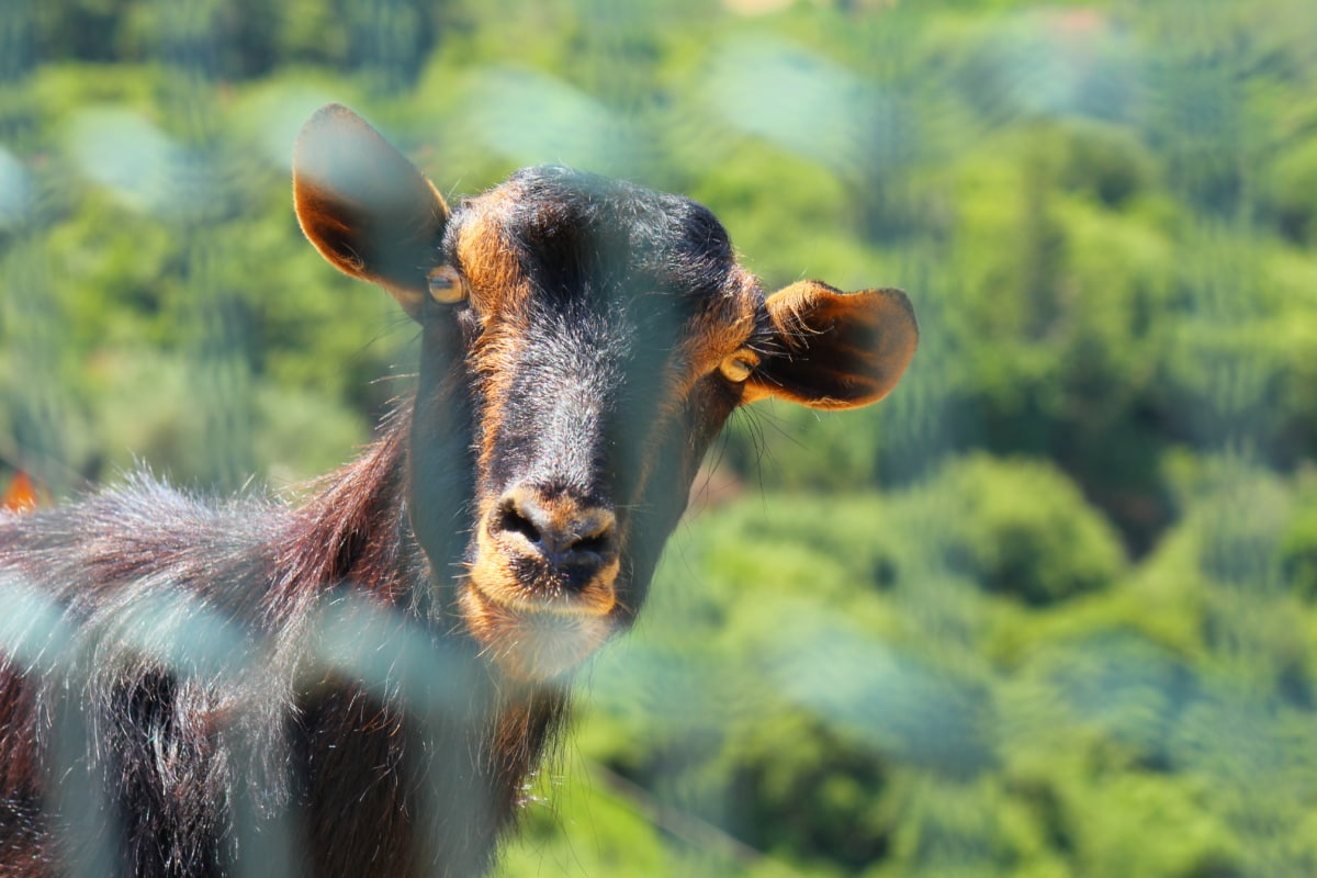 goat, brown, looking, curious, head, nature, wild, cow, wildlife, cattle