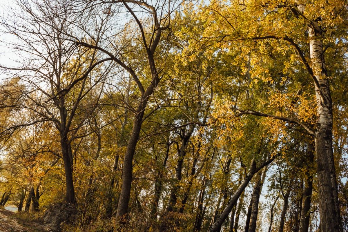 poplar, autumn, forest, sunshine, forest path, landscape, wood, tree, plant, leaf