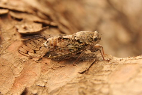 moth, insect, light brown, wings, arthropod, invertebrate, bug, cicada, wildlife, animal