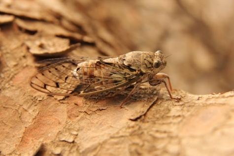 Mariposa, inseto, marrom claro, asas, artrópode, invertebrado, bicho, cigarra, vida selvagem, animal