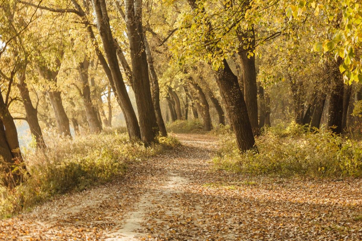 sunshine, forest path, forest, dry season, autumn, leaf, land, tree, trees, park