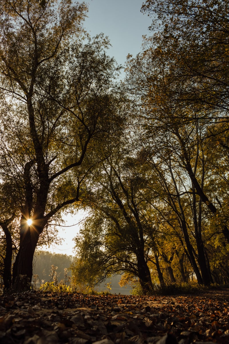 sunrays, autumn, branch, forest, forest path, landscape, trees, tree, leaf, nature