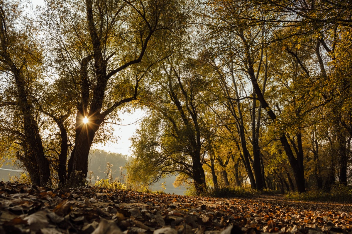 autumn, forest path, sunrays, sunset, forest, landscape, tree, trees, leaf, nature