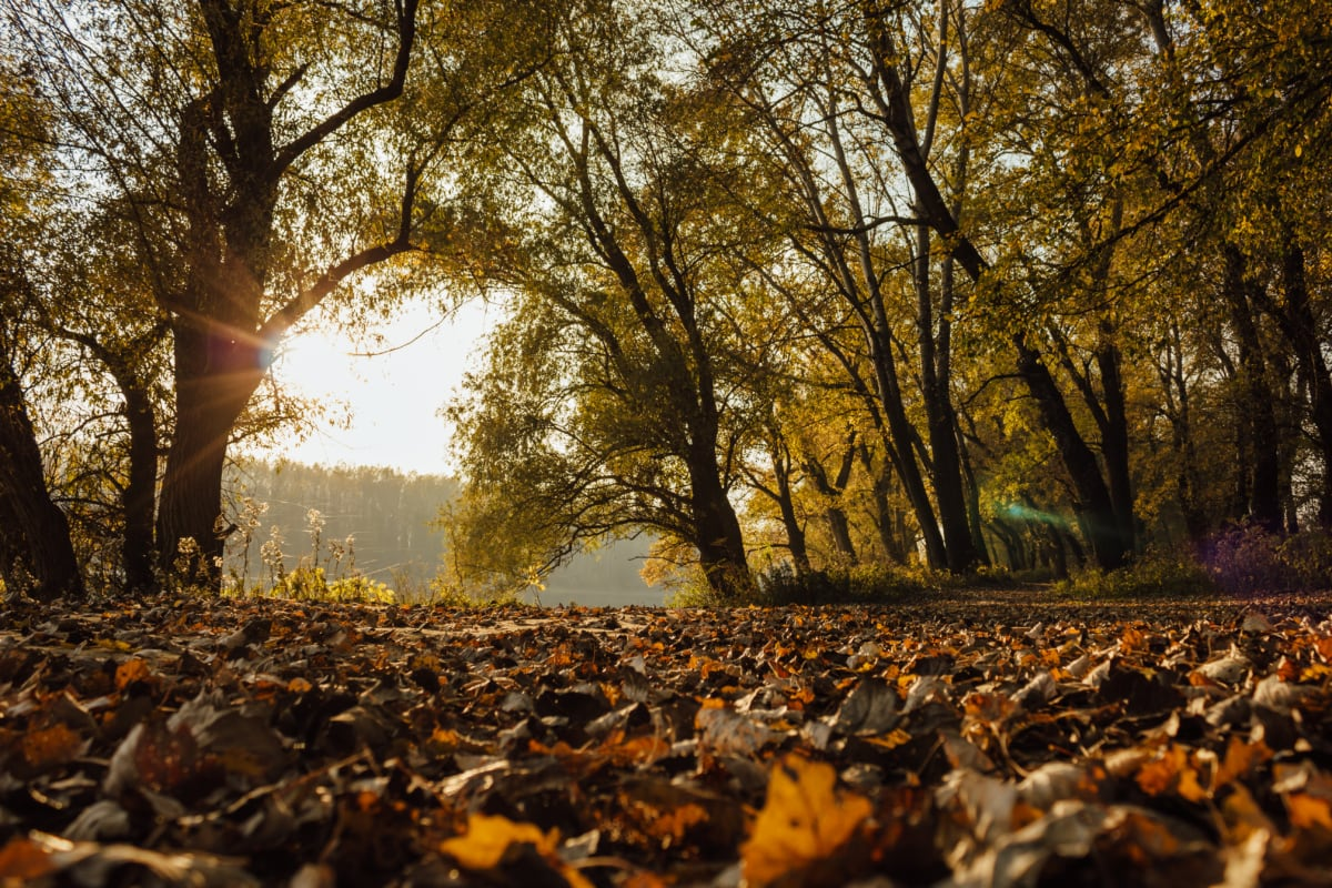 napsütés, sárga levelek, fény, beszűrődik, természet, erdő, táj, fa, fák, levél