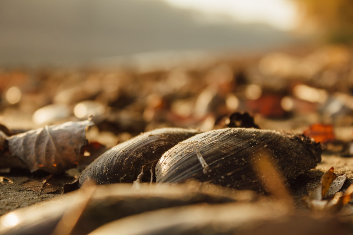 mussel, autumn season, shell, animal, mollusk, blur, invertebrate, nature, wildlife, outdoors