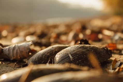 mussel, autumn season, shell, animal, mollusk, blur, invertebrate, nature, wildlife, outdoors