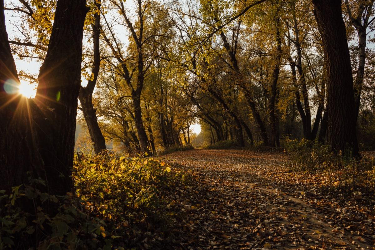camino de bosque, camino forestal, sol, rayos de sol, clima, árboles, hoja, sol, otoño, árbol