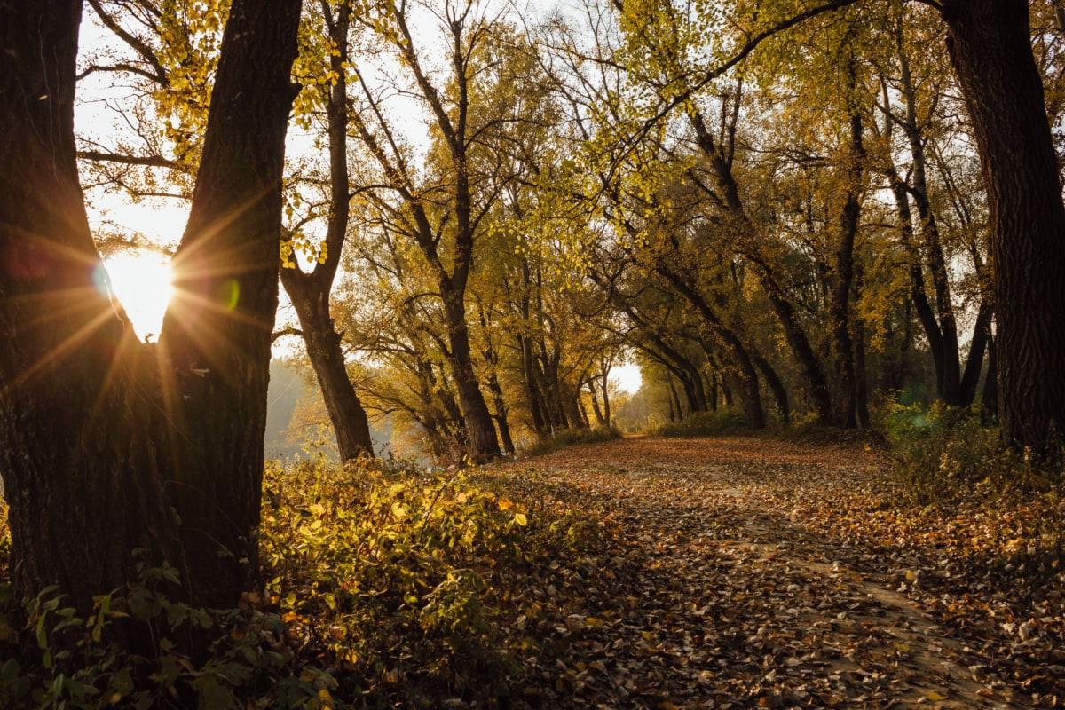 slnečný svit, októbra, lesnej ceste, jeseň, les, slnečno, lesná cesta, svitanie, strom, stromy