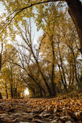 forest path, poplar, landscape, forest, autumn, tree, trees, birch, park, season