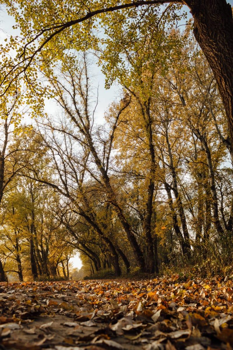 숲의 경로, 포 플 러, 풍경, 숲, 가, 트리, 나무, 자작나무, 공원, 시즌