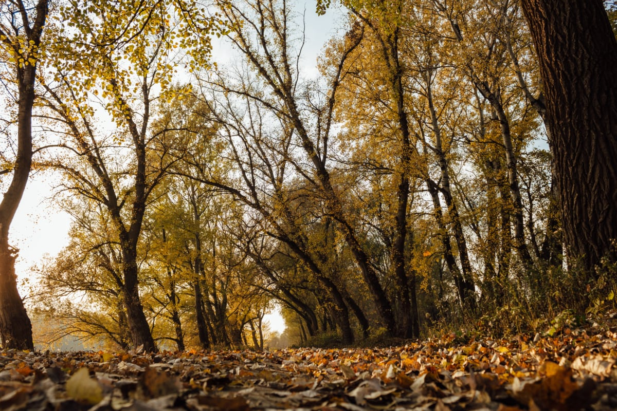 forest trail, ground, yellow leaves, autumn season, sunshine, leaf, autumn, trees, forest, landscape