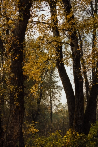 trees, forest, autumn, leaf, park, poplar, tree, wood, landscape, fair weather