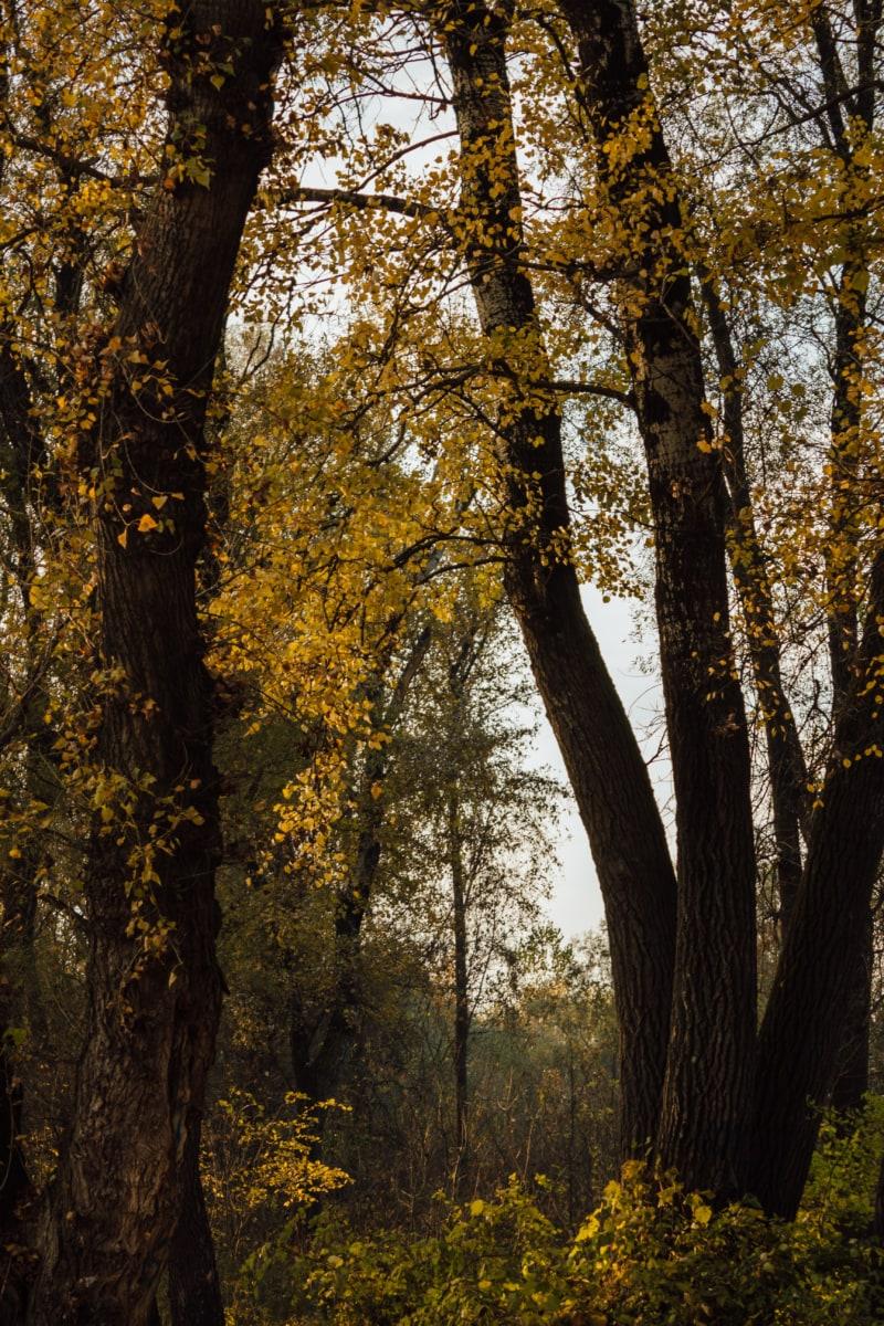 trees, forest, autumn, leaf, park, poplar, tree, wood, landscape, fair weather