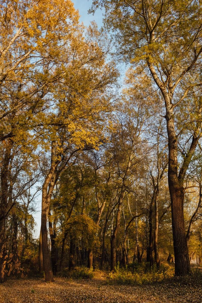 Осінь, лісовими стежками, дерева, Національний парк, Талль, дерево, лист, краєвид, ліс, Тополя