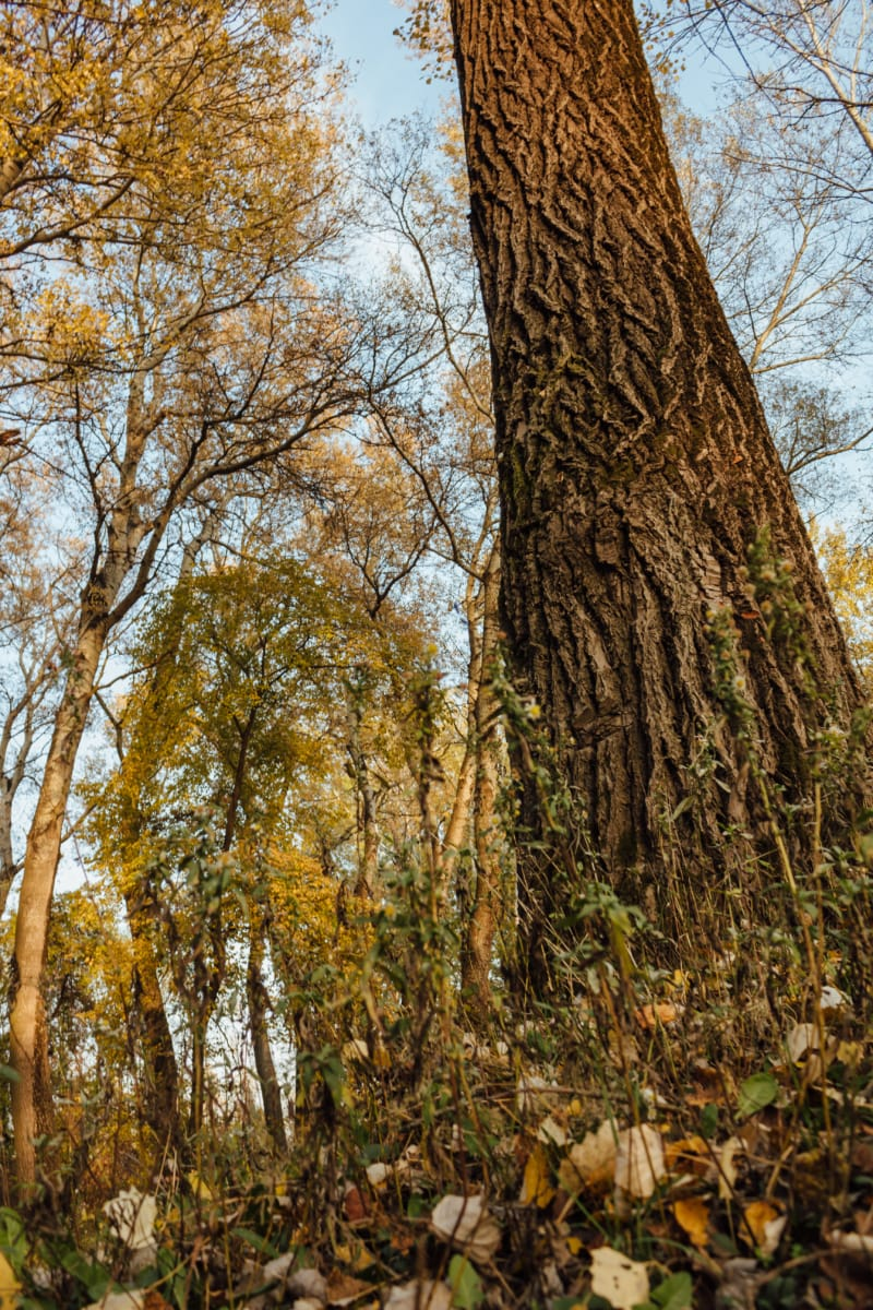 trees, tall, vertical, bark, oak, forest, autumn, nature, landscape, leaf