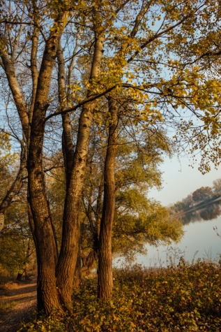 poplar, lakeside, autumn, forest, landscape, wood, leaf, tree, trees, nature