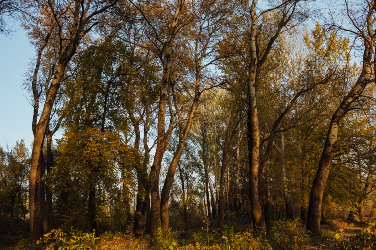 sunshine, forest path, forest, atmosphere, poplar, climate, leaf, wood, trees, autumn