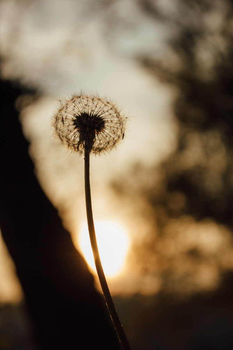 dandelion, silhouette, shadow, sunset, seed, flower, herb, nature, plant, sun