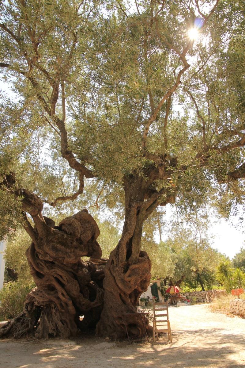 Bäume, Olive, alt, Klima, Mittelmeer, Sonnenschein, Wald, Natur, Landschaft, Struktur
