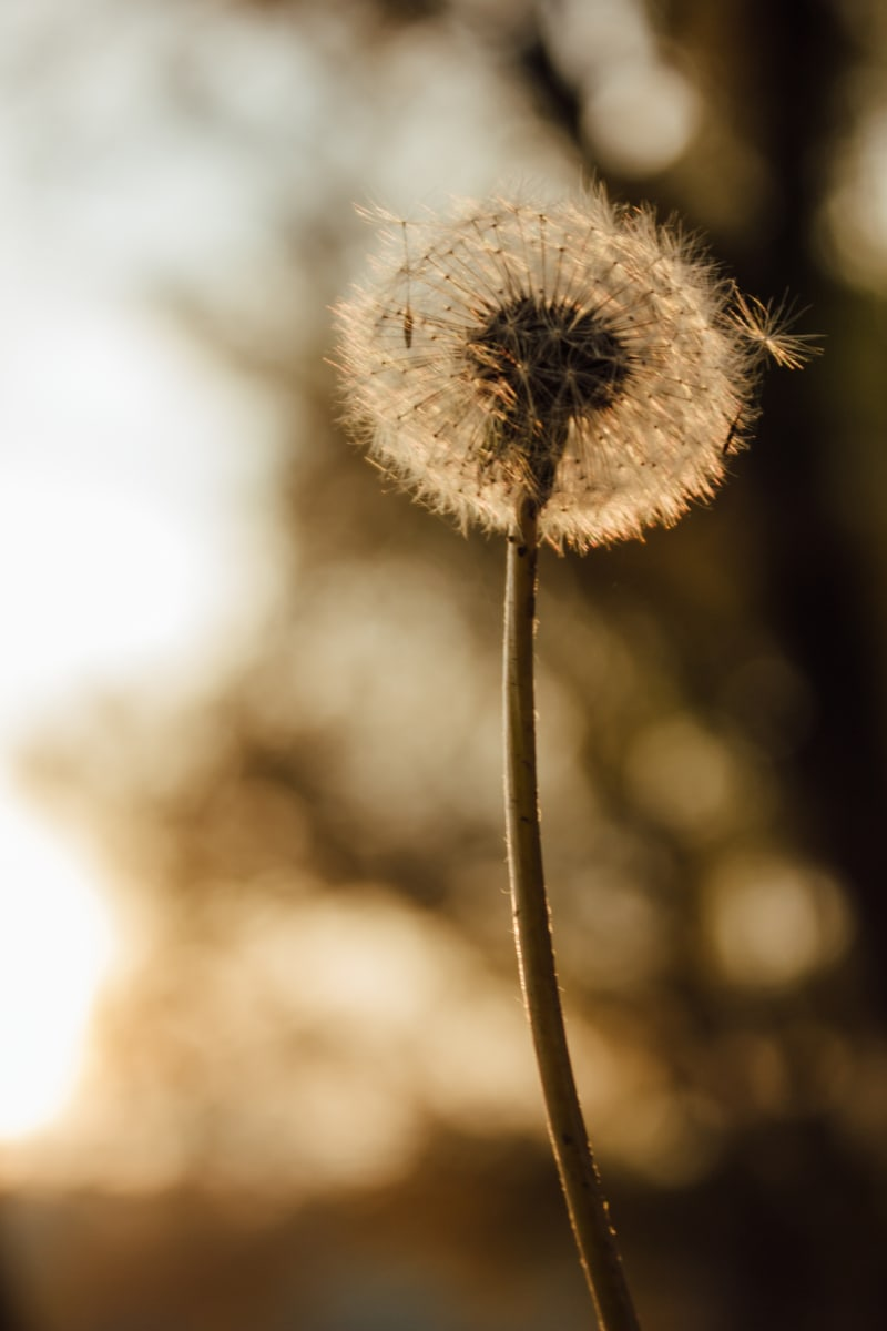 dandelion, botany, stem, backlight, silhouette, nature, plant, flower, herb, blur