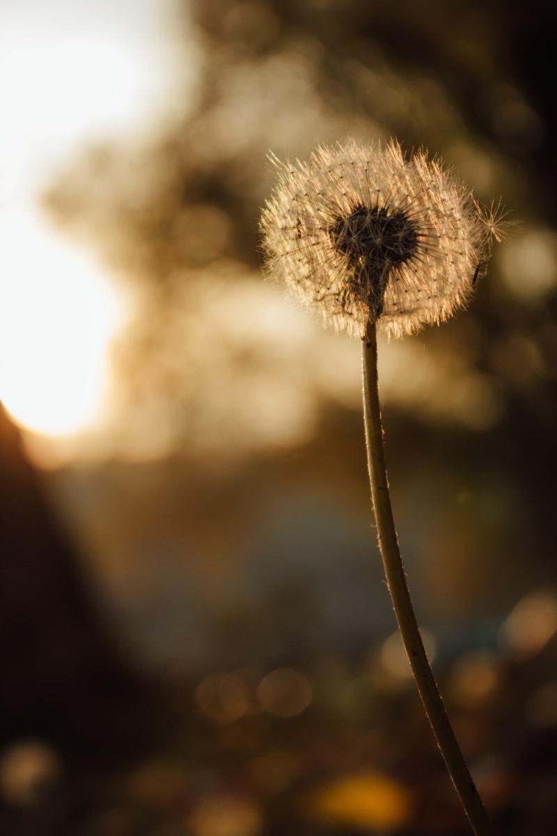 dandelion, brightness, sunset, sunspot, seed, sunshine, blur, herb, flower, plant