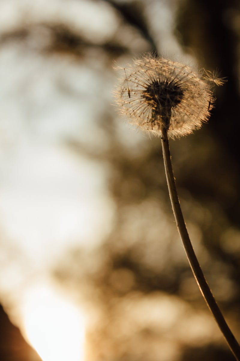 dandelion, autumn season, backlight, silhouette, sunshine, plant, flower, nature, herb, blur