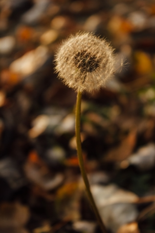 dandelion, autumn, close-up, seed, flower, herb, plant, nature, flora, leaf