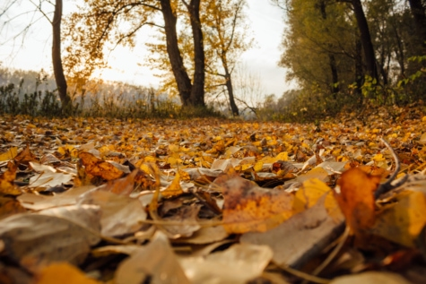 autumn season, poplar, yellow leaves, autumn, leaf, landscape, wood, forest, tree, nature
