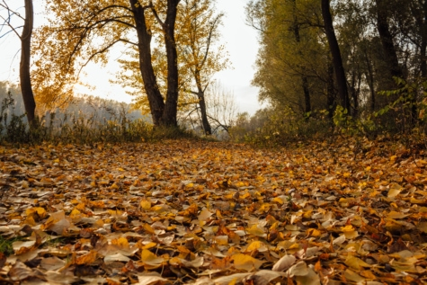 autumn season, poplar, yellow leaves, forest path, climate, autumn, landscape, forest, nature, trees