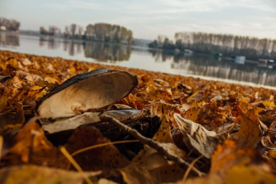 mussel, shell, autumn, yellow leaves, dry, lakeside, nature, invertebrate, water, river