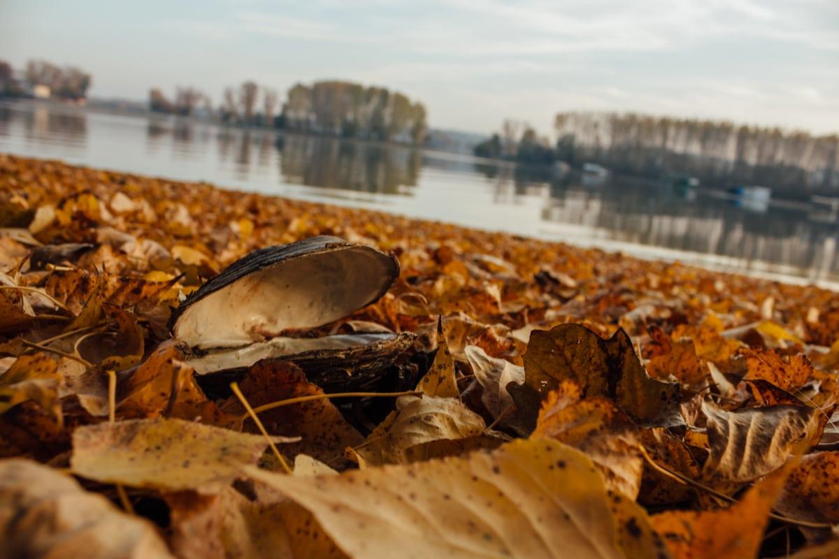 mussel, autumn, soil, yellow leaves, ground, shell, water, invertebrate, nature, beach