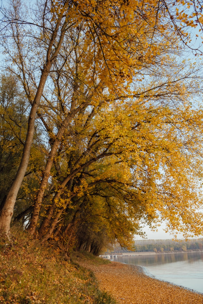 autumn, golden glow, yellow leaves, twig, trees, branches, landscape, leaf, forest, tree