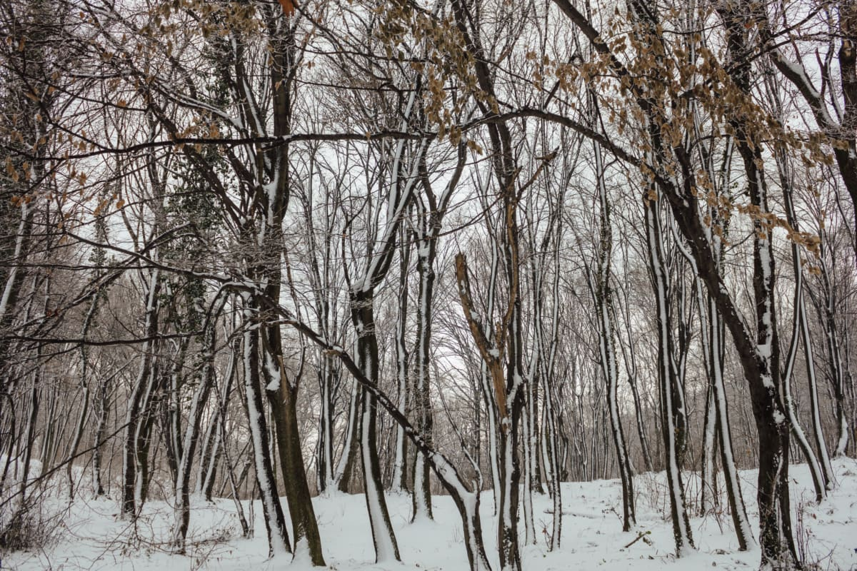 forest, snowflakes, ice crystal, trees, snowy, wood, winter, frost, cold, snow