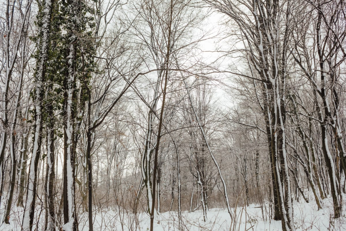neigeux, forêt, arbres, nature sauvage, arbre, météo, gel, brouillard, bouleau, Hiver
