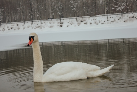 swan, cold, winter, cold water, alone, grace, lake, waterfowl, bird, water
