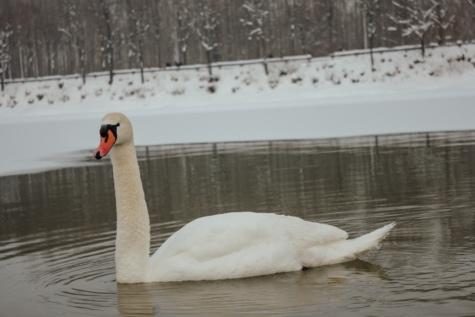 cygne, froide, Hiver, eau froide, seul, la grâce, Lac, sauvagine, oiseau, eau