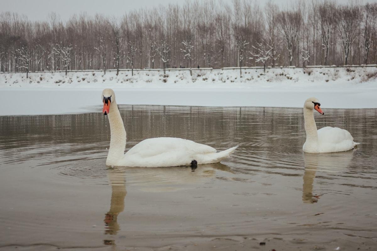 swan, winter, flock, cold water, couple, lakeside, frozen, water, waterfowl, bird