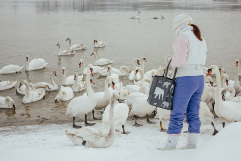 swan, winter, wilderness, riverbank, girl, bird, people, snow, water, ice