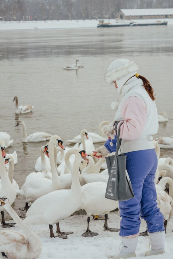 feeding, swan, cold water, flock, young woman, winter, bird, water, lake, clothing