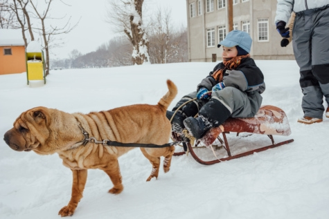 sled dog, winter, boy, dog, sled, vehicle, people, snow, cold, harness