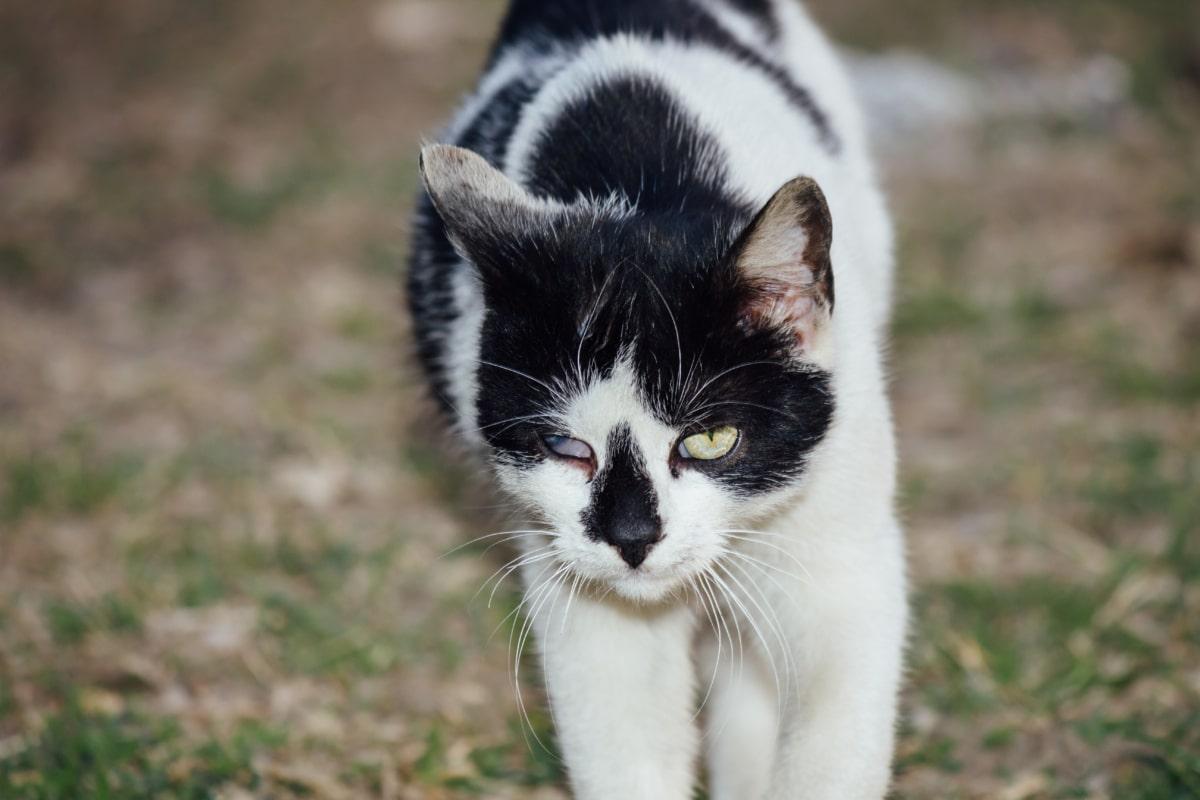 domestic cat, walking, black and white, eye, animal, cat, cute, kitty, domestic, feline