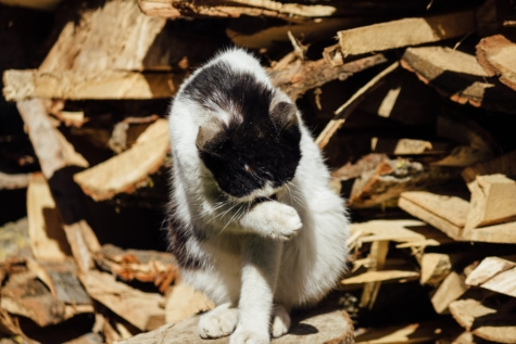 black and white, domestic cat, firewood, wildlife, wild, fur, cute, pet, furry, domestic