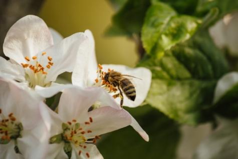 abelha melífera, polinização, flor, flor, primavera, flor, arbusto, árvore, pétala, planta