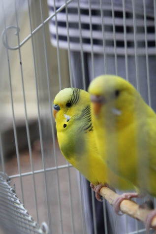 parakeet, yellowish, pets, cage, parrots, feather, yellow, parrot, bird, wildlife