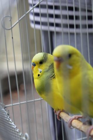 앵무새의 일종, 노란, 애완 동물, 케이지, 앵무새, 깃털, 노란색, 앵무새, 새, 야생 동물