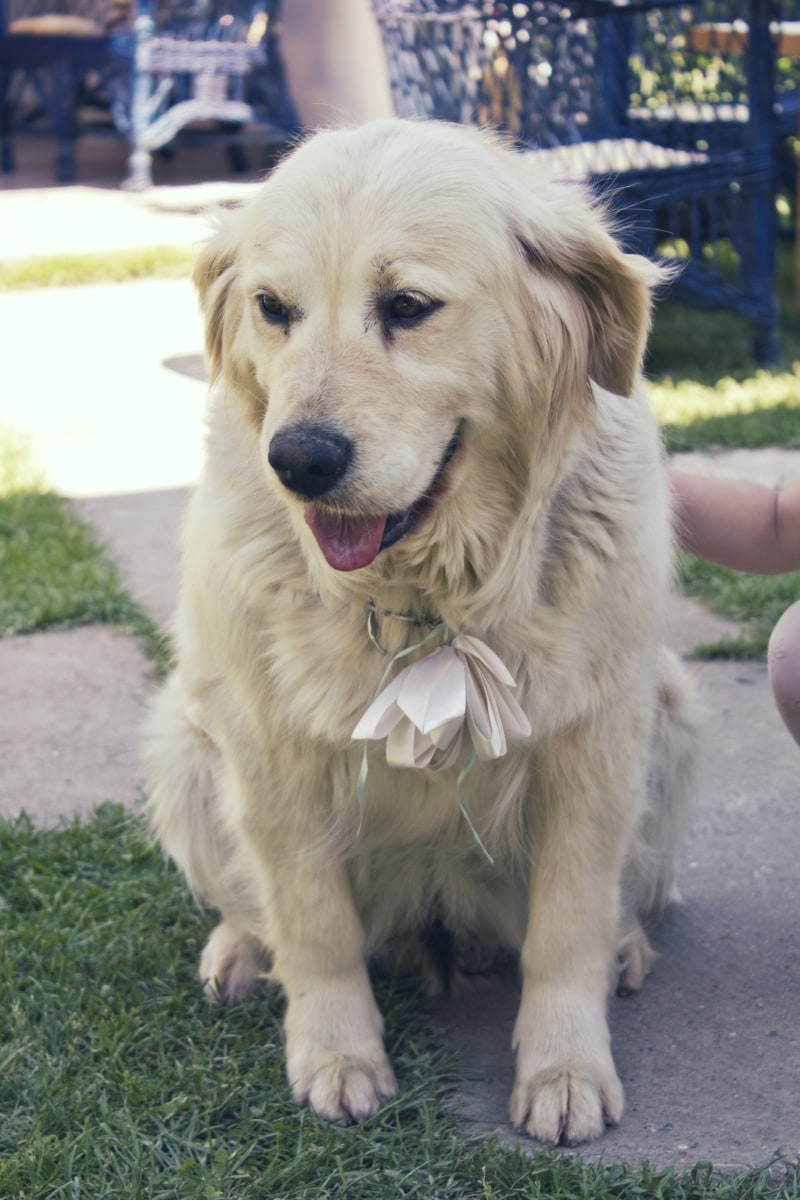 collar, fashion, glamour, dog, sitting, domestic, hunting dog, cute, puppy, pet