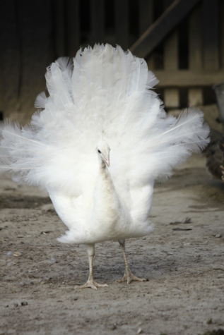 albino, peacock, feather, poultry, bird, nature, wildlife, animal, outdoors, portrait